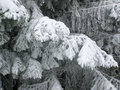 Snow on pine branches Royalty Free Stock Photo