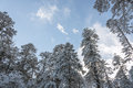 Snow pine Royalty Free Stock Photo