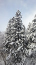Snow on pine tree snowy day in winter everything is white and cover with thick Royalty Free Stock Photography
