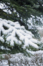 Snow on a pinetree Royalty Free Stock Photo