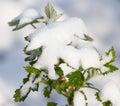 Snow on raspberry leaf spring Royalty Free Stock Photo