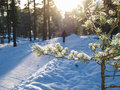 Snow in spruce tree fresh little front of sunlight onto wintery roads Stock Photos