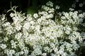 Snow In Summer Cerastium tomentosum Tiny Blooms Background Royalty Free Stock Photo