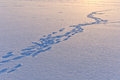 Snow surface texture with animal traces in evening Royalty Free Stock Photo