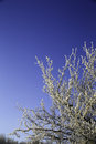 Snow on tree branches the of a with a deep blue sky in the background Stock Photos