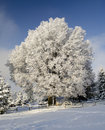 Snow tree under blue sky Stock Images