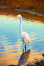 Snow White Egret Royalty Free Stock Photo