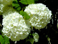 Snowball blossoms springtime means flowering bushes also known as viburnum Stock Images