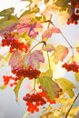 Snowball tree or Guelder Rose Royalty Free Stock Photo