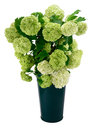Snowball viburnum bush or guelder rose in green vase isolated on white Royalty Free Stock Images