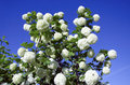 Snowball white blooms on blue sky. Viburnum opulus Royalty Free Stock Image