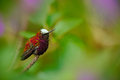 Snowcap, Microchera albocoronata, rare hummingbird from Costa Rica, red-violet bird sitting in beautiful pink flowers, scene at gr Royalty Free Stock Photo