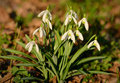 Snowdrop bloom garden in early spring on field Royalty Free Stock Photography