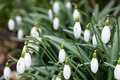 Snowdrop closeup of closed snowdrops galanthus flowerheads in spring Stock Photo