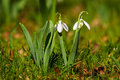 Snowdrop flower in blossom Stock Image