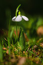 Snowdrop flower in blossom Royalty Free Stock Photo