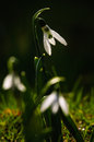 Snowdrop flower in blossom Royalty Free Stock Image
