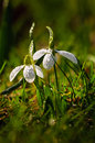 Snowdrop flower in blossom Stock Images