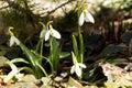 Snowdrop flower on a blurred background of grass