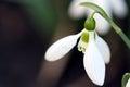 Snowdrop flower macro Royalty Free Stock Photo