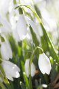 Snowdrop flower in morning dew, soft focus Royalty Free Stock Photo