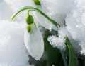 Snowdrop flower in a snow close up macro shot Royalty Free Stock Image