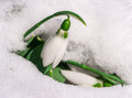 Snowdrop flower in a snow close up macro shot Stock Photos