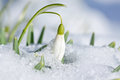Snowdrop flower with snow in the garden Royalty Free Stock Photo