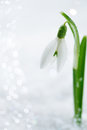Snowdrop flower on white studio snow Royalty Free Stock Images