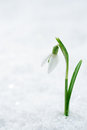 Snowdrop flower on white studio snow soft focus perfect for po postcard Stock Image