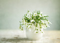 Snowdrop flowers beautiful white in spring studio shot Royalty Free Stock Image