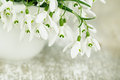Snowdrop flowers beautiful white in spring studio shot Royalty Free Stock Photo