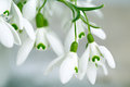Snowdrop flowers beautiful white in spring studio shot Stock Photo