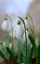 Snowdrop flowers closeup of in springtime Royalty Free Stock Photography
