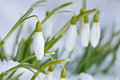 Snowdrop flowers galanthus nivalis with selected focus Stock Photo