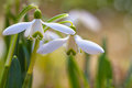 Snowdrop flowers galanthus nivalis in the spring forest Stock Photos