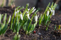 Snowdrop flowers in garden with ladybird bug Royalty Free Stock Photo