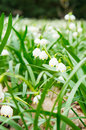 Snowdrop flowers many in the spring season Stock Photo