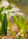Snowdrop flowers in spring forest galanthus nivalis the Royalty Free Stock Photos