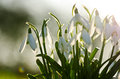Snowdrop flowers spring time white snowdrops Royalty Free Stock Image