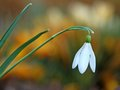 Snowdrop - Galanthus nivalis Royalty Free Stock Photography