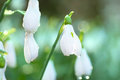 Snowdrop- spring white flower Stock Photography