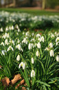 Snowdrop white blooming or galanthus nivalis bulbs in a warm winter season Royalty Free Stock Photo