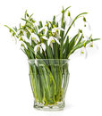 Snowdrops Stock Photo