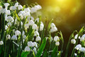 Snowdrops background with sunshine light Royalty Free Stock Image