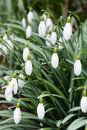 Snowdrops closeup clump of in a garden in the uk Stock Image