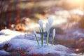 Snowdrops crocus