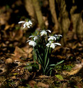 Snowdrops in dappled sunlight Royalty Free Stock Photos