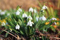 Snowdrops detail of clump of in spring Royalty Free Stock Photography