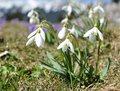 Snowdrops at early spring with mountains background Stock Photo